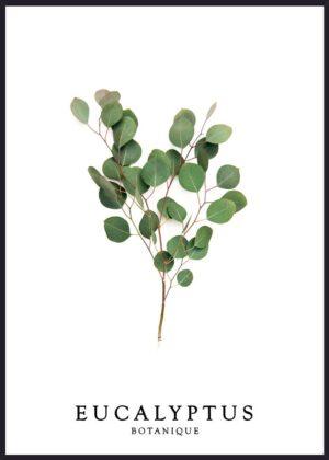 eucalyptus fotoplakat