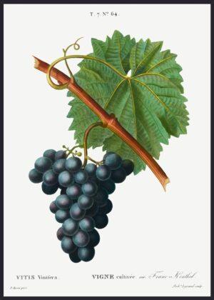 Pierre Joseph Redoute, Grapes