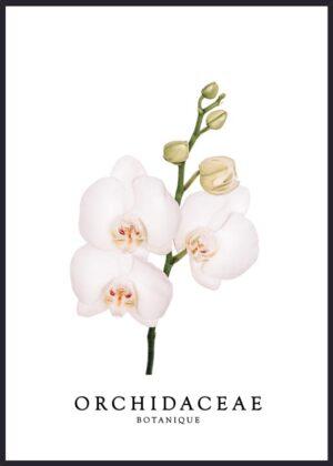 Orakidé Botanique