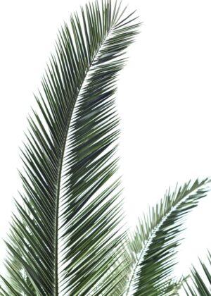 Palmeblade på hvid baggrund