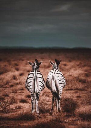 Zebra plakat